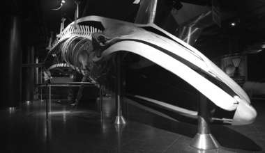 La Balenottera comune conservata al Parco Oltremare di Riccione. 'Museologia Scientifica Memorie'